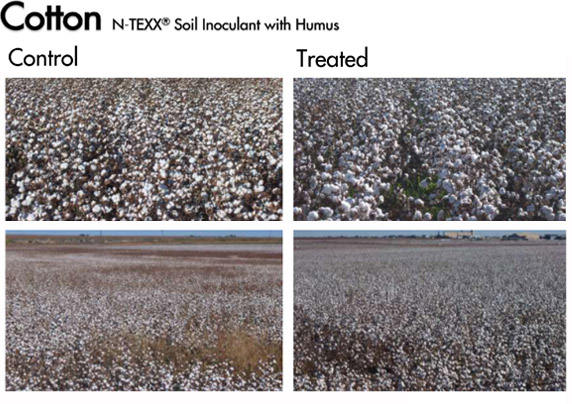 Cotton trial with NTEXX® Soil Inoculant with Humus